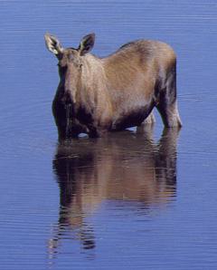 Mpose-European Elk